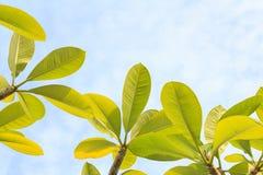 Φύλλα Plumeria με τον ουρανό Στοκ φωτογραφίες με δικαίωμα ελεύθερης χρήσης