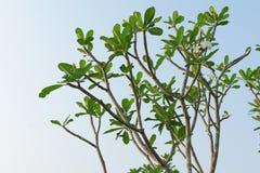 Φύλλα Plumeria που απομονώνονται στο υπόβαθρο ουρανού, Frangipani Στοκ εικόνες με δικαίωμα ελεύθερης χρήσης