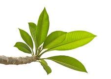 Φύλλα Plumeria που απομονώνονται Στοκ φωτογραφίες με δικαίωμα ελεύθερης χρήσης