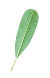 Φύλλα Plumeria Στοκ εικόνες με δικαίωμα ελεύθερης χρήσης