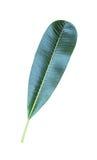Φύλλα Plumeria Στοκ Εικόνες