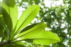 Φύλλα Plumeria Στοκ εικόνα με δικαίωμα ελεύθερης χρήσης