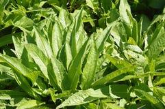 φύλλα succulent Στοκ Εικόνες