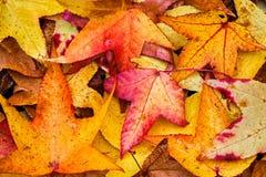 Φύλλα Sweetgum πτώσης στοκ εικόνες