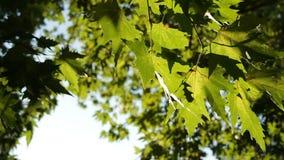 Φύλλα Sycamore υπαίθρια απόθεμα βίντεο