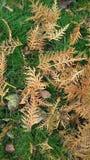 Φύλλα Thuja στοκ εικόνα με δικαίωμα ελεύθερης χρήσης