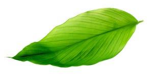 Φύλλα Turmeric Στοκ Φωτογραφία