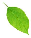 Φύλλο δέντρων της Apple που απομονώνεται σε ένα λευκό Στοκ Φωτογραφίες