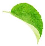 Φύλλο δέντρων της Apple που απομονώνεται σε ένα λευκό Στοκ φωτογραφίες με δικαίωμα ελεύθερης χρήσης