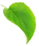 Φύλλο δέντρων της Apple που απομονώνεται σε ένα λευκό Στοκ Εικόνα