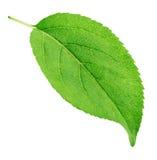 Φύλλο δέντρων της Apple που απομονώνεται σε ένα λευκό Στοκ εικόνα με δικαίωμα ελεύθερης χρήσης