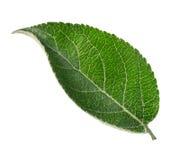 Φύλλο δέντρων της Apple που απομονώνεται Στοκ Εικόνες