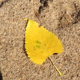 Φύλλο δέντρων Cottonwood Στοκ εικόνα με δικαίωμα ελεύθερης χρήσης
