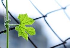 Φύλλο αμπέλων που μεγαλώνει μόνο - που εμπνέει στοκ εικόνα με δικαίωμα ελεύθερης χρήσης