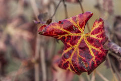 Φύλλο αμπελώνων φθινοπώρου Στοκ Φωτογραφίες