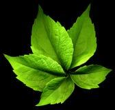 Φύλλο αναρριχητικών φυτών της Βιρτζίνια Στοκ φωτογραφίες με δικαίωμα ελεύθερης χρήσης