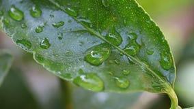 Φύλλο ασβέστη με την υγρασία φιλμ μικρού μήκους