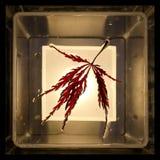 Φύλλο ενός κόκκινου ιαπωνικού σφενδάμνου Στοκ Εικόνες