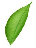 Φύλλο εσπεριδοειδών που απομονώνεται σε ένα λευκό Στοκ Φωτογραφία
