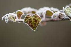 Φύλλο ελίκων Hedera κισσών που καλύπτεται με τον παγετό Στοκ εικόνα με δικαίωμα ελεύθερης χρήσης