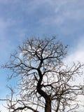 φύλλο κανένα δέντρο Στοκ Εικόνα