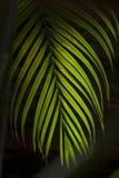 Φύλλο καρύδων Στοκ Εικόνες