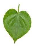 Philodendron Στοκ Εικόνες