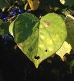 Φύλλο καρδιών Στοκ φωτογραφίες με δικαίωμα ελεύθερης χρήσης