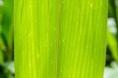 Φύλλο καλαμποκιού Στοκ εικόνα με δικαίωμα ελεύθερης χρήσης