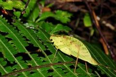 Φύλλο-μίμος katydid στο φύλλο στοκ εικόνες