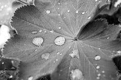 Φύλλο με τα waterdrops - Σαξωνία, Γερμανία Στοκ Φωτογραφίες