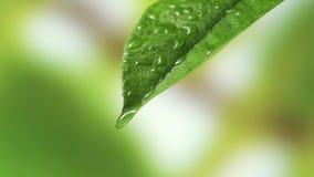Φύλλο με την πτώση του νερού βροχής με το πράσινο υπόβαθρο απόθεμα βίντεο