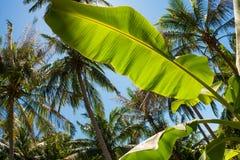 Φύλλο μπανανών, φοίνικες καρύδων και ο λάμποντας ήλιος, κατώτατη άποψη, στο τροπικό νησί Phangan, Ταϊλάνδη Στοκ Εικόνες