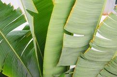 Φύλλο μπανανών Στοκ Φωτογραφία