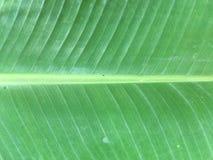 Φύλλο μπανανών στοκ εικόνα με δικαίωμα ελεύθερης χρήσης