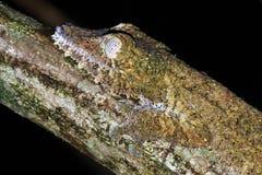 Φύλλο-παρακολουθημένη πλευρά πορτρέτου Gecko Στοκ Φωτογραφίες