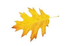 Φύλλο που απομονώνεται δρύινο στο λευκό Στοκ Εικόνες