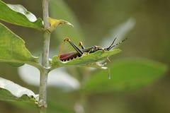 Φύλλο που τρώει τη γιγαντιαία ασιατική χοάνη χλόης στοκ εικόνα
