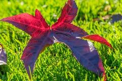 Φύλλο πτώσης φθινοπώρου στη χλόη Στοκ Φωτογραφίες