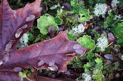 Φύλλο σφενδάμου και βρύο Στοκ Φωτογραφία