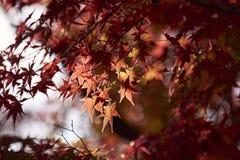 Φύλλο σφενδάμου κατά τη διάρκεια της εποχής φθινοπώρου στο Κιότο Ιαπωνία Στοκ Εικόνες