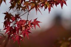 Φύλλο σφενδάμου κατά τη διάρκεια της εποχής φθινοπώρου στο Κιότο Ιαπωνία Στοκ Φωτογραφίες