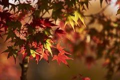 Φύλλο σφενδάμου κατά τη διάρκεια της εποχής φθινοπώρου στο Κιότο Ιαπωνία Στοκ φωτογραφία με δικαίωμα ελεύθερης χρήσης