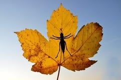 Φύλλο σφενδάμου με το γρύλο θάμνων Στοκ Εικόνες