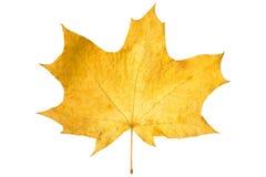 Φύλλο σφενδάμου που απομονώνεται πορτοκαλί στο λευκό ξηρό φύλλο φθινοπώρου Στοκ Φωτογραφία
