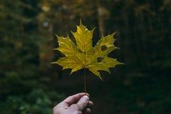 Φύλλο σφενδάμου σε ένα χέρι ατόμων ` s Στοκ Φωτογραφίες