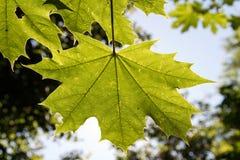 Φύλλο σφενδάμου σε Backlight Στοκ Εικόνες