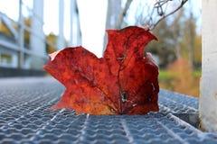 Φύλλο σφενδάμου στην εστίαση στοκ φωτογραφία