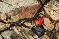 Φύλλο σφενδάμου στην πέτρα Στοκ Εικόνες