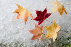 Φύλλο σφενδάμου στο σωρό του πάγου Στοκ Εικόνες